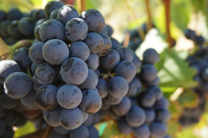 Weintrauben auf Kreta