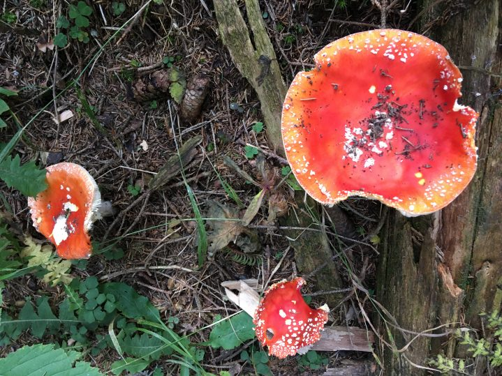 Rote Pilze im Wald