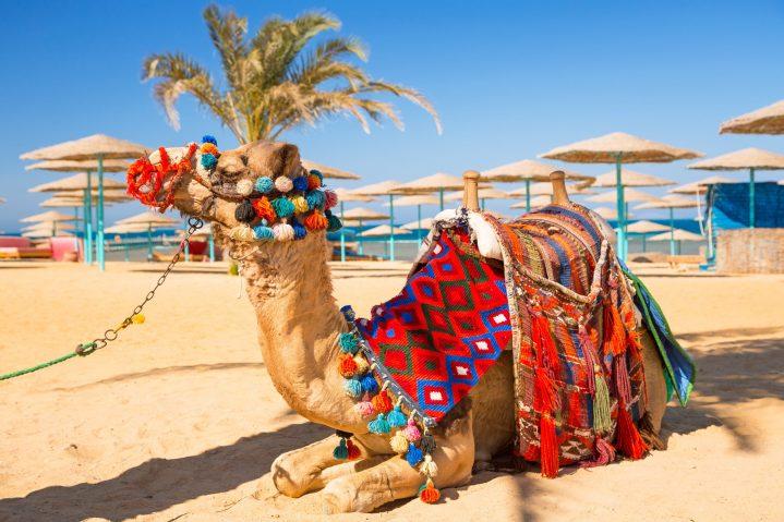 Kamel am Strand Hurghada
