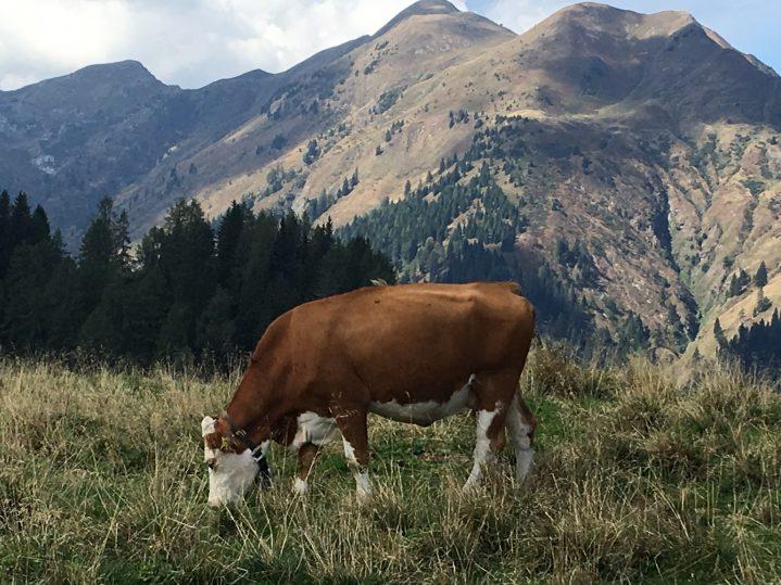Almkuh vor Bergpanorama in Österreich