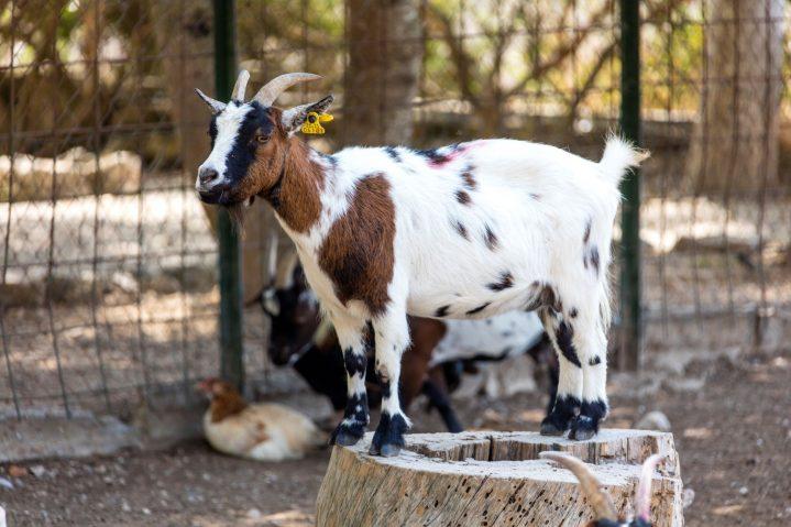 braun-weiße Ziege auf Mallorca