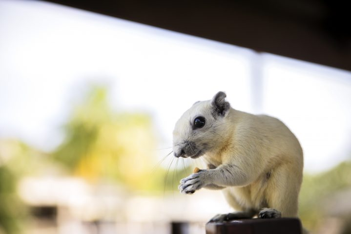 Eichhörnchen in Thailand ROBINSON Club Khao Lak