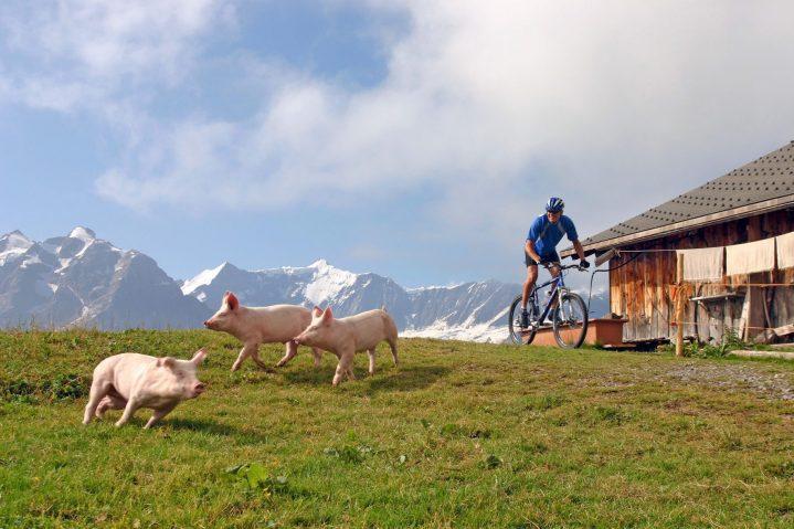 Mann auf Mountainbike auf einer Alm schaut auf weglaufende Schweine