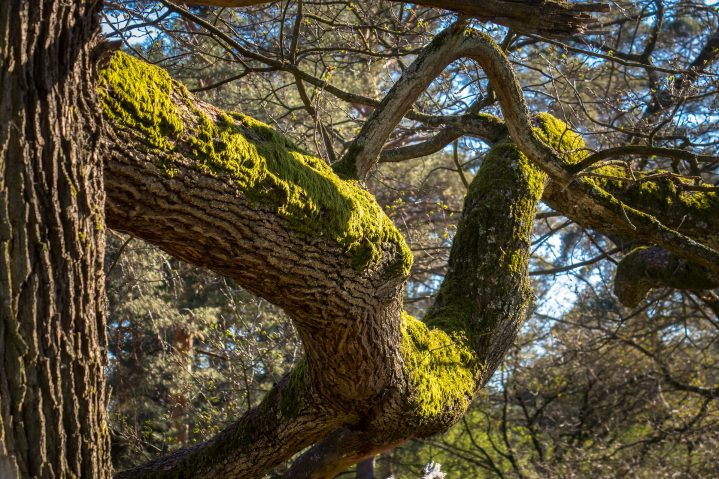 Moosbewachsener Eichenbaum