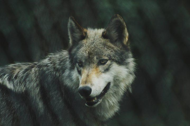 Wolf Photo by Michael LaRosa on Unsplash