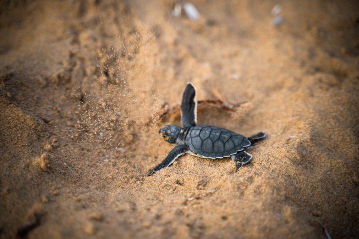 Schildkröte schlüpft am Strand von Paphos auf Zypern