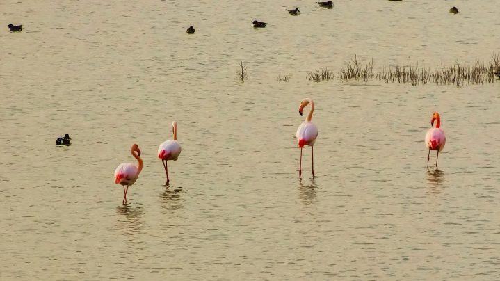 Rosa Flamingos in Larnaca Zypern